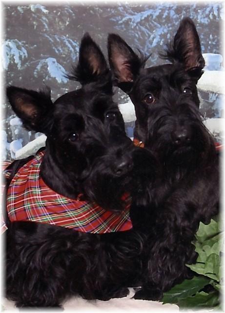 terrierphotoalbum Black Russian Terrier