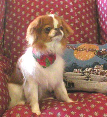 Japanese Chin Poodle Mix http://www.caninedesignct.com/PhotoGallery ...